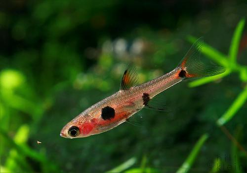 Mini poissons pour nano aquariums for Mini poisson aquarium