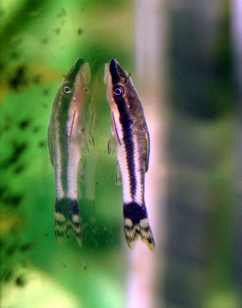 Mini Poissons Pour Nano Aquariums Nanodouce Com